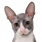 Fiche de la race : cornish rex