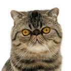 Fiche de la race : exotic shorthair