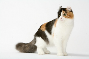 illustration AMERICAN CURL