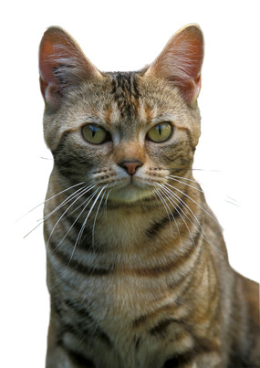 illustration AMERICAN SHORTHAIR ET WIREHAIR
