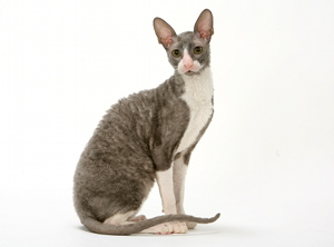 illustration CORNISH REX