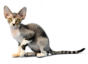 illustration DEVON REX