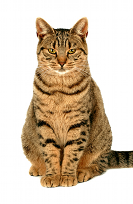 illustration EUROPEAN SHORTHAIR