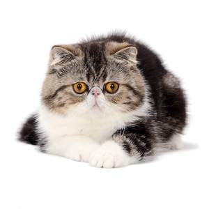 illustration EXOTIC SHORTHAIR