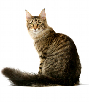 illustration MAINE COON