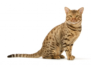 illustration OCICAT