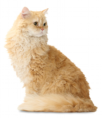 illustration SELKIRK REX